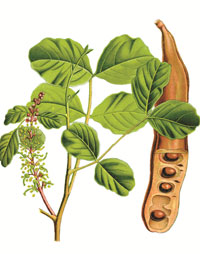 pianta di carrubo